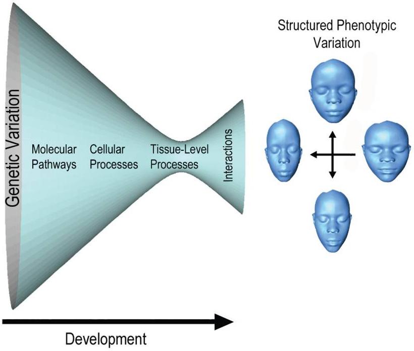 A generalized view of the factors affecting facial structure development. Source: PLoS Genet. 2014 Nov; 10(11): e1004724.