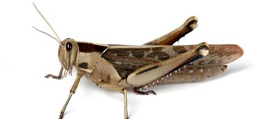 Engineers at Washington University in St. Louis used nanoparticles, aerosol technology and locusts in proof of concept research that could someday change the way medicine is delivered to the brain.